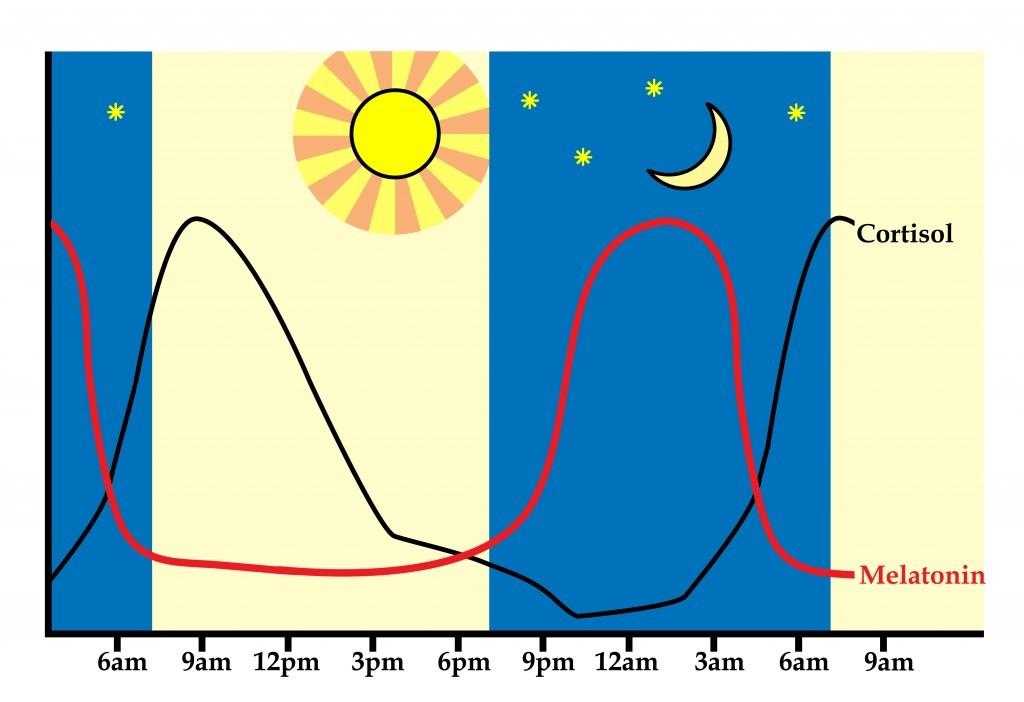 Rythme circadien - Homornes cortisol et mélatonine relachées dans le corps