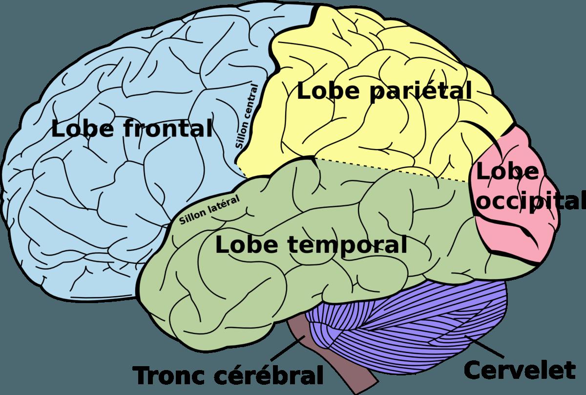 Schéma grossier du cerveau - La partie limbique se situe dans le centre du cerveau, donc non visible ici.