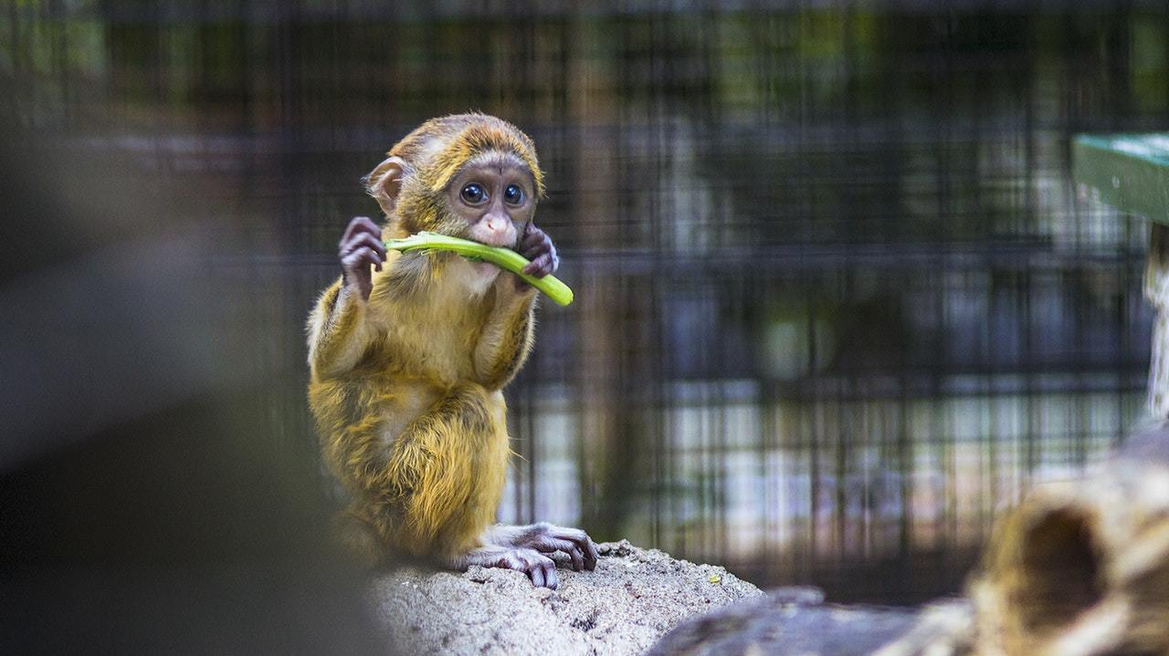 Comment gérer et appréhender ses émotions ? Comment fonctionne les émotions grâce à la métaphore du chimpanzé.